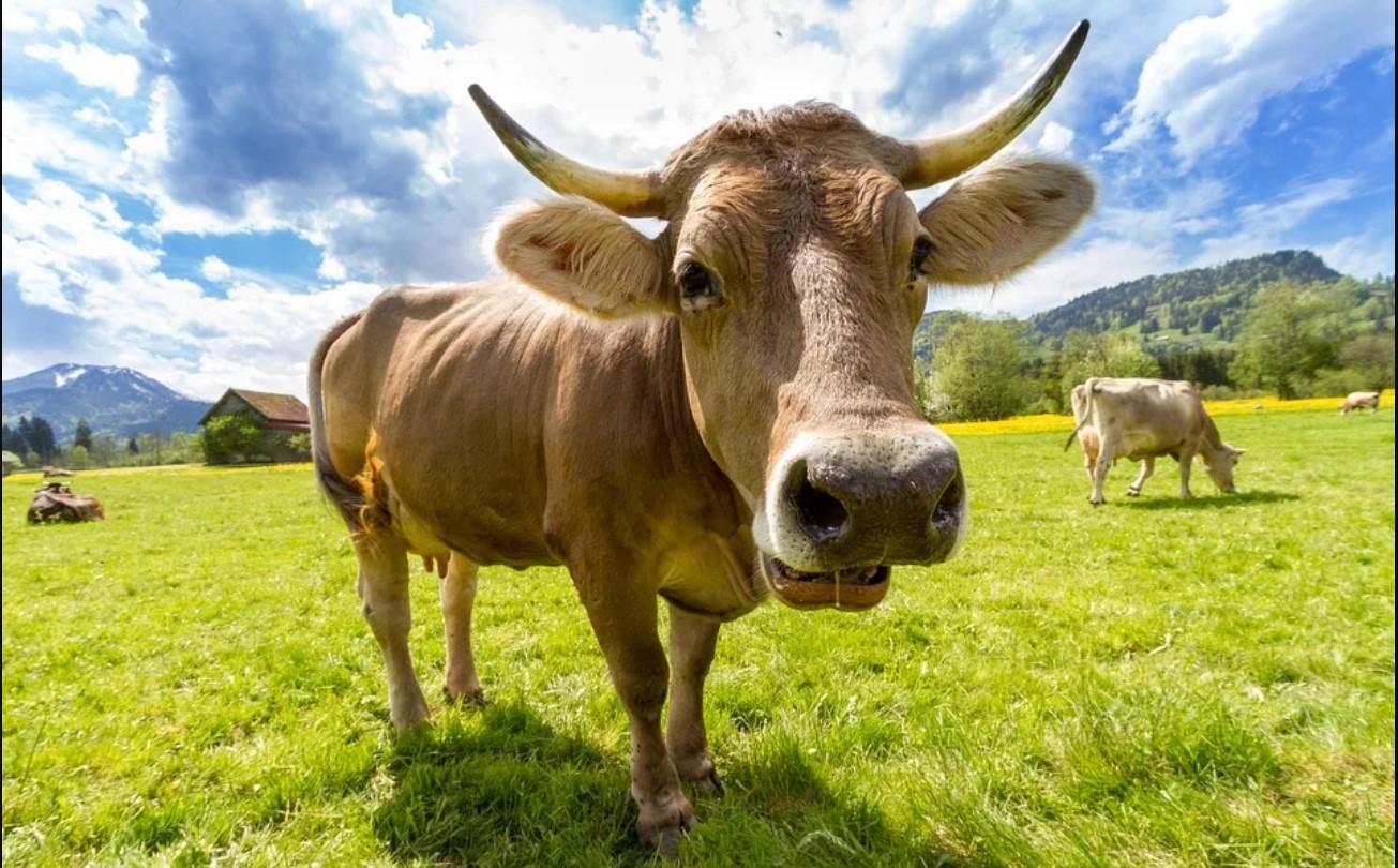 Cara Menyembelih dan Pembagian Daging Kurban di Tengah Pandemi